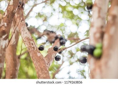 Jaboticaba, native fruit from Brazil