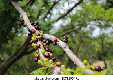 jaboticaba in the orchard