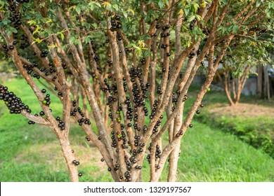 jaboticaba tree with fruits at the farm