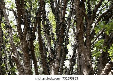 Jaboticaba tree full of fruits in Brazil - Brazilian grape tree, or jabuticaba
