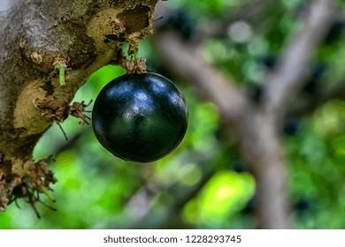 Jaboticaba in the tree ready to be harvested. Jabuticaba is the native Brazilian grape tree. Exotic fruit whose season is summer.