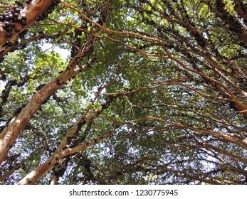 Jaboticaba trees in Brazil