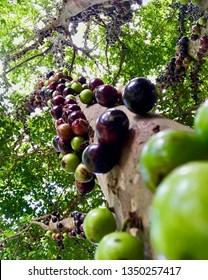 Jaboticaba Trees and Ripened Fruit