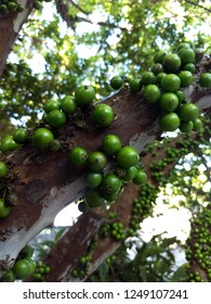 Jaboticabas (Black Berry / Green Berry)