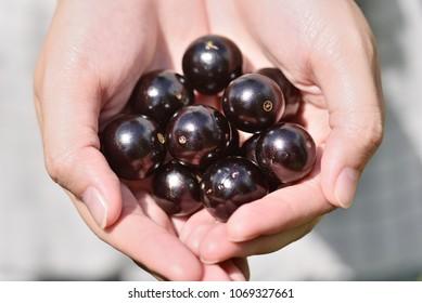 Jabuticaba fruit on the palm
