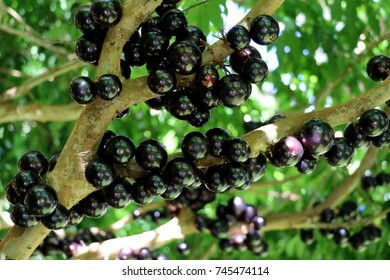 Jabuticaba, or Jaboticaba is a evergreen tree native to Brazil, Argentina, Paraguay, Peru and Bolivia.  Purplish-black, white-pulped fruits can be eaten raw or be used to make jellies, juice or wine.