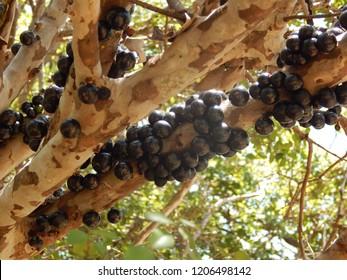 jabuticaba or jaboticaba, exotic Brazilian tropical fruit