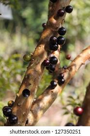Jabuticaba, Myrciaria Cauliflora � tropical fruit.  Native to Brazil, Argentina, Paraguay, and Bolivia.