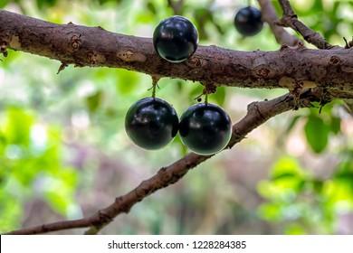 Jabuticaba is the native Brazilian grape tree. Fruit exotic ready to be harvested. Jaboticaba. Plinia cauliflora.