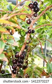 Jabuticaba in the tree, ready to be harvested. Brazilian fruit.