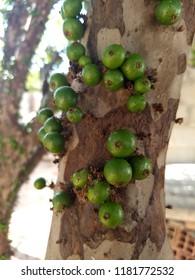 Jabuticabas still green