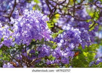 Jacaranda bloom close-up