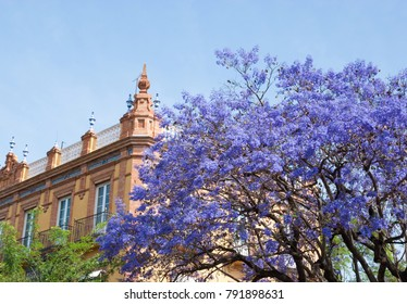 Jacaranda in bloom. Spain