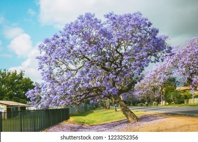 jacaranda blossom tree in the park, Australia, Grafton