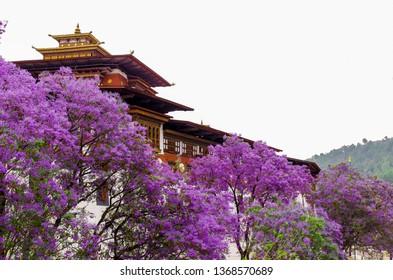 Jacaranda Flower blooming Punakha Dzong