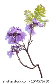 Jacaranda Flower isolated on white background, a species with an inflorescence at the tip of the purple flower, is native to South America.