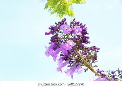 Jacaranda flower is on sky background