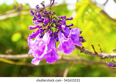 Jacaranda flower on the tree.They are produced in conspicuous large panicles, each flower with a five-lobed blue to purple-blue corolla; a few species have white flowers.