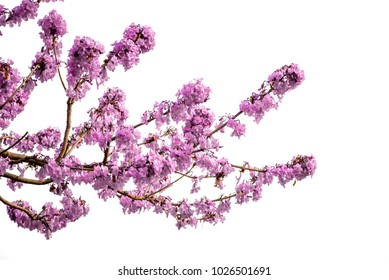 Jacaranda flowers isolated on white