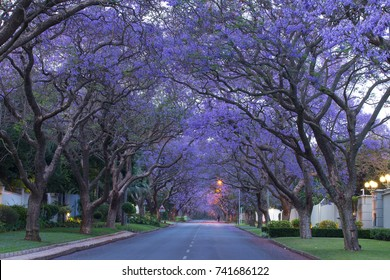 The Jacaranda lined avenues of Houghton, Johannesburg, South Africa in the soft light before dawn