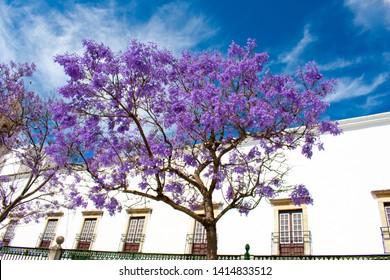 Jacaranda Mimosifolia Beautiful purple tree against white building and Blue sky, Faro, Algarve Portugal