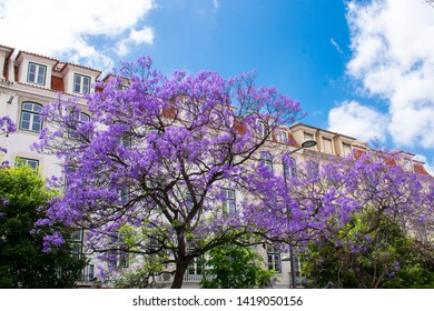 Jacaranda Mimosifolia Beautiful purple tree against white building and Blue sky, Faro, Algarve Portugal