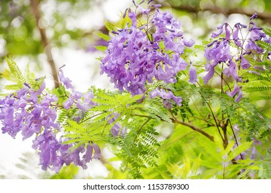 Jacaranda mimosifolia is a sub-tropical tree native to South America but very successful planted in Sydney and in Australian climate generally, blooming in November.