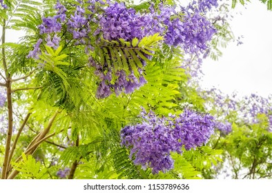 Jacaranda mimosifolia is a sub-tropical tree native to South America but very succesful planted in Sydney and in Australian climate generally, blooming in November. Sydney, Australia.