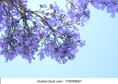 Jacaranda tree against blue sky