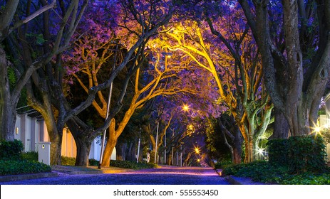 The jacaranda tree avenues in Johannesburg, marking the start of summer