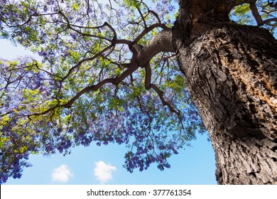jacaranda tree and bloom