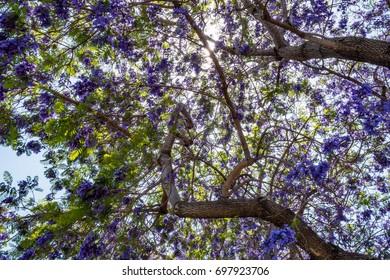 Jacaranda tree and bloom with sky and sunshine