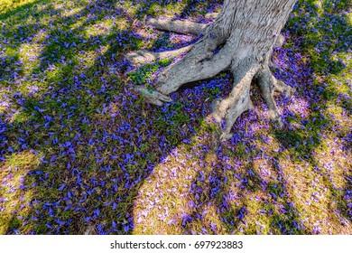 Jacaranda tree and falling purple petals