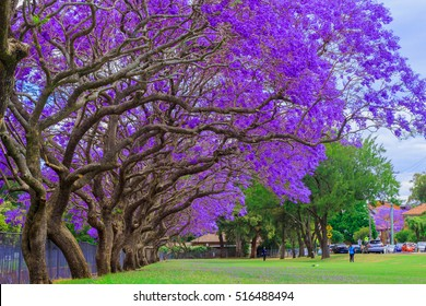 jacaranda tree at full bloom at kogarah, australia