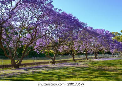 Jacaranda Tree in Full Bloom in row