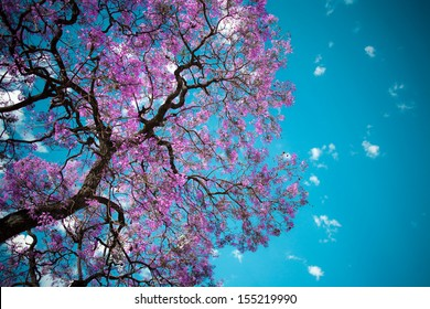 jacaranda tree sky purple flower pink green blossom nature spring jacaranda tree jacaranda tree sky purple flower pink green blossom nature spring color colour plant vegetation outdoor outside branch