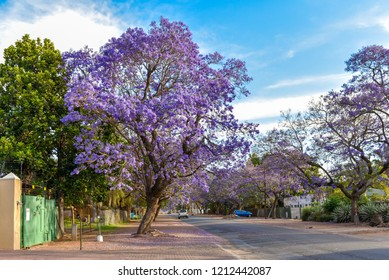 Jacaranda tree is a symbolic tree blooming in the spring season in South Africa