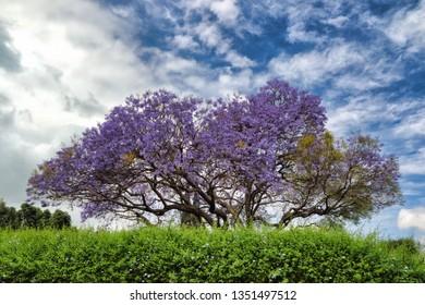 Jacaranda tree in upcountry, Haiku on the island of Maui.