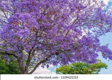 Jacaranda trees in Ayamonte, Andalucia, Spain