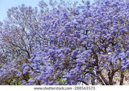 Jacaranda trees blooming purple flowers jerez stock photo edit now jacaranda trees in blooming with purple flowers in jerez cadiz spain mightylinksfo
