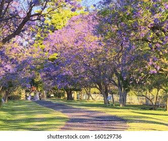 Jacaranda trees in Full Bloom.