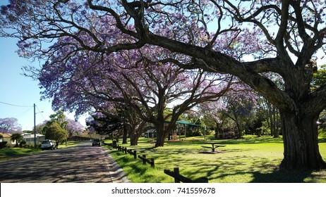 Jacaranda trees in Grafton at See Park