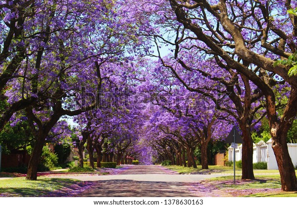Jacaranda trees in Pretoria