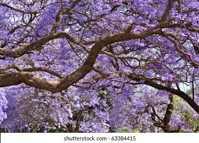 jacaranda trees in Pretoria, South Africa, purple bloom in October for background spring