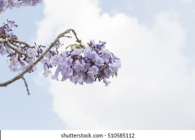 Jacaranda violet flower with sky background.