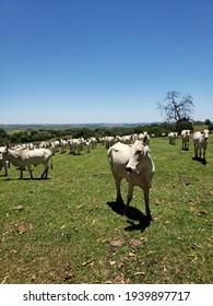 Jacarezinho,  Paraná  Brasil - 01152021 -  Livestock in farm