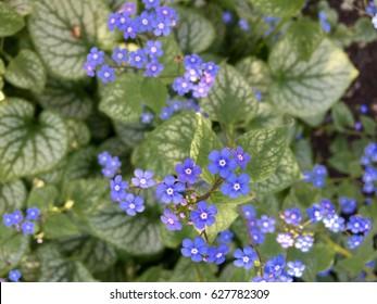 'Jack Frost' flower
