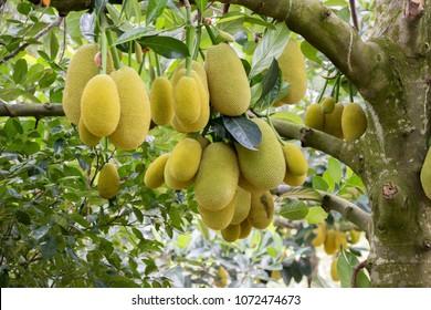 Jack fruits hanging in trees in a tropical fruit garden in Vietnam