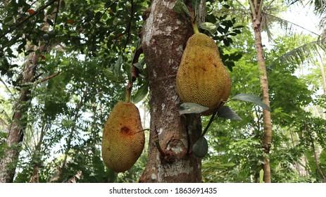 Jack fruits or nangka or cempedak (Artocarpus heterophyllus) hanging in trees in a tropical fruit garden, Jackfruit trees belong to the Moraceae tribe,the scientific name is Artocarpus heterophyllus