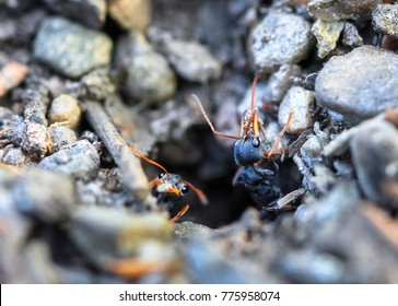 Jack jumper ants (Myrmecia pilosula) crawling out of a hole in Tasmania, Australia. They are one of the world's most venomous and dangerous ant species,